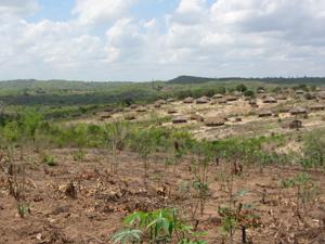 manioca