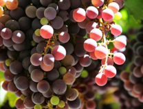 vitivinicola