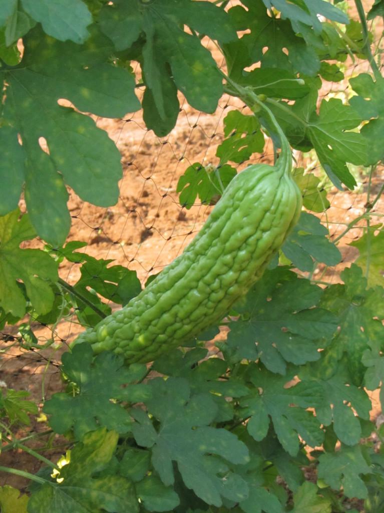 ampalaya crescita 2