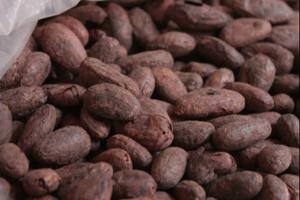 fava di cacao
