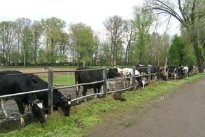 panoramica mucche