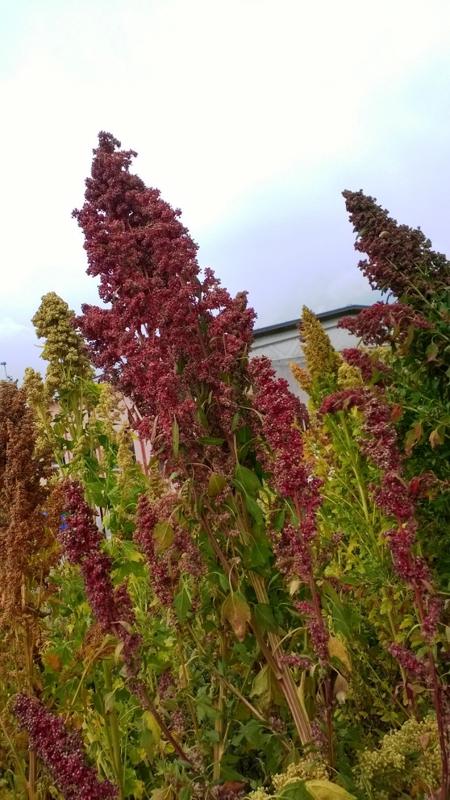 quinoa in fiore rosso verticale adamello